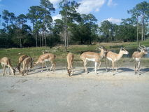Antelopes on the road side Royalty Free Stock Photography