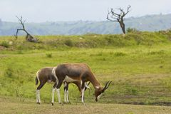 Antelopes, Safari park in South Africa Stock Photo