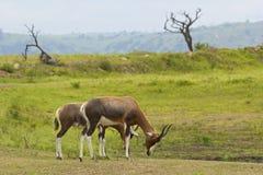 Antelopes, Safari park in South Africa Stock Photo