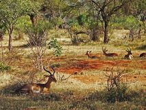 Antelopes on the savannah Royalty Free Stock Images