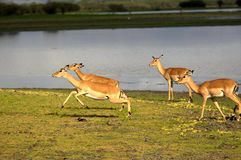 Antelopes in Selous National Park, Tanzania royalty free stock photography