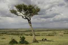 Antelopes in the shade of a tree Stock Photo
