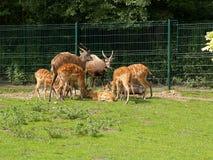 Antelopes of Sitatunga in a zoo Royalty Free Stock Photo