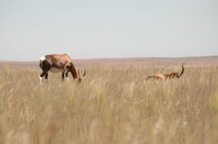 Antelopes in South Africa Stock Photos