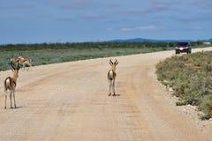 Antelopes springbok, Etosha, Namibia Stock Photo