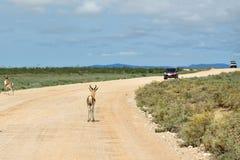 Antelopes springbok, Etosha, Namibia. Springbok antelopes standing on a dirt road against a car in Etosha national park in Namibia; Antidorcas Marsupialis Royalty Free Stock Photo