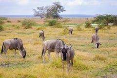 Antelopes standing in the grassland, Kenya, gnu stock photography
