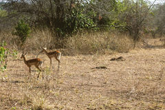 The antelopes wandering their habitats. Royalty Free Stock Images