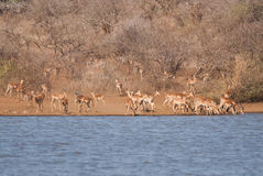 Antelopes by waterhole Royalty Free Stock Image