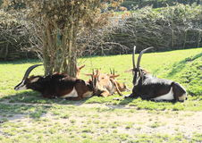 Antelopes with whelps Royalty Free Stock Images