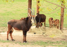 Antelopes with whelps Royalty Free Stock Image