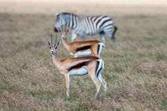 Antelopes and zebra on a background of grass. Safari in Africa Royalty Free Stock Photo