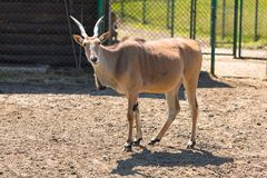 Antelopes in the zoo. Poland Royalty Free Stock Photography