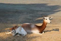 Antelopes Stock Image