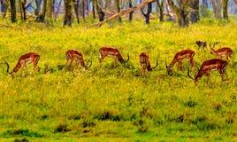 Anteloppe in masai Mara Immagini Stock Libere da Diritti
