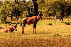 Anteloppe in masai Mara Immagine Stock Libera da Diritti