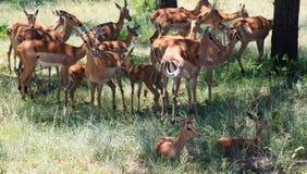Antelops στο εθνικό πάρκο Kruger Στοκ Εικόνες