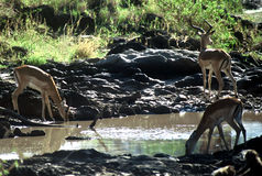 antelops Τανζανία Στοκ φωτογραφίες με δικαίωμα ελεύθερης χρήσης