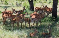 Antelops en el parque nacional de Kruger Fotos de archivo libres de regalías
