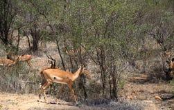 Antelops in Kruger National Park Royalty Free Stock Photos