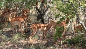 Antelops in Kruger National Park Royalty Free Stock Images