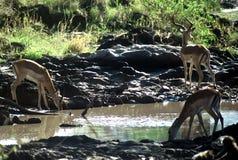 Antelops,Tanzania Royalty Free Stock Photos