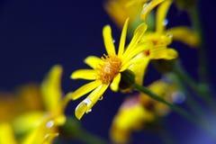 Antemis yellow flover. Flower antimesis yellow daisy close up green Stock Photo