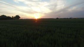 Antena: Baixo voo sobre o campo de trigo, câmera que enfrenta para a frente no por do sol bonito Perto de Sombor, Sérvia video estoque
