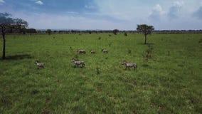 ANTENA: Cebras en el safari Mikumi de Tanzania almacen de video