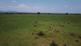 ANTENA: Cebras en el safari Mikumi de Tanzania almacen de metraje de vídeo