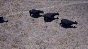 Antena das vacas em Califórnia do norte vídeos de arquivo