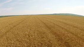 Antena del campo de trigo almacen de video