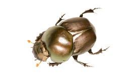 Antena del escarabajo de Brown Foto de archivo libre de regalías