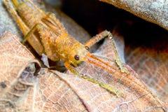 Antena do inseto de Katydids do Tettigoniidae Fotografia de Stock