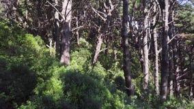Antena, floresta do pinheiro no dia ventoso 4k filme