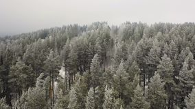 ANTENA: flyght del abejón sobre bosque del pino del invierno en montañas almacen de metraje de vídeo