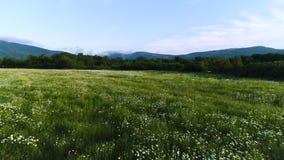 Antena para as margaridas que balan?am no vento no campo perto das montanhas no fundo azul do c?u nebuloso tiro branco vídeos de arquivo