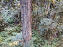 Antena Redwood drzewa w Północnym Kalifornia Obrazy Royalty Free