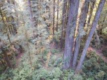 Antena Redwood drzewa w Północnym Kalifornia Fotografia Royalty Free