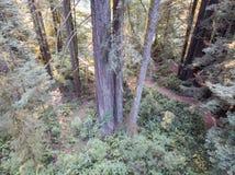 Antena Redwood drzewa w Północnym Kalifornia Zdjęcie Royalty Free