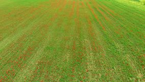 Antena: volando sobre prados rojos de las amapolas, empleo de la agricultura, opinión de campos rojos verdes enormes, countr del  metrajes