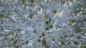Antena: Vuelo sobre los pinos del bosque del invierno cubiertos con nieve Visión superior almacen de video