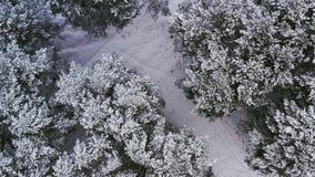 Antena: Vuelo sobre los pinos del bosque del invierno cubiertos con nieve Opinión superior de la rotación almacen de video