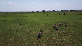 ANTENA: Zebras no safari Mikumi de Tanzânia filme