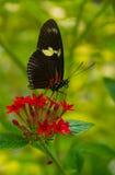 Antenas e probóscide da borboleta Fotos de Stock Royalty Free