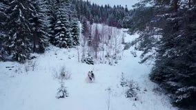 Antenn av brudgummen som rotera den lyckliga bruden som rymmer henne i hans händer i skog för träd för snövädergran prydlig under