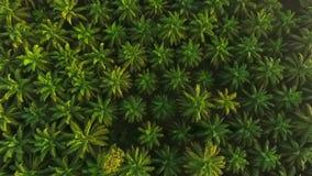 Antenn: Organiskt gömma i handflatan sikten för lantgården för oljaträdkolonin från över HD Thailand lager videofilmer