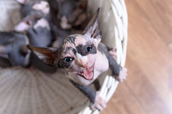Antenn som skjutas av att skrika den Sphynx kattungen Royaltyfri Fotografi