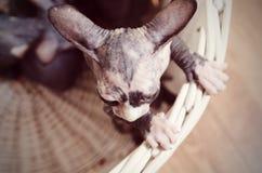 Antenn som skjutas av Sphynx Kitten Inside en korg Royaltyfri Bild