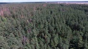Antenn - surr som flyger över pinjeskog på solig dag arkivfilmer